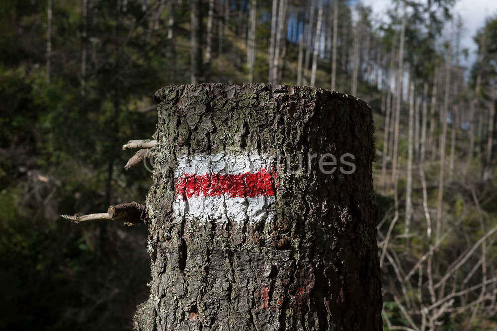 A Polish hiking route sign on a spruce tree where others have been badly affected by the European spruce beetle, in Dolina Mietusia, a hiking route in the Polish Tatra National Park, on 18th September 2019, in Dolina Mietusia, near Zakopane, Malopolska, Poland. The European spruce beetle Ips typographus is one of 116 bark beetles species in Poland which is killing thousands of spruces. The insects population can grow rapidly via wind and snow etc. which eventually leaves a gap in the landscape, thereby changing the forest floors ecology.