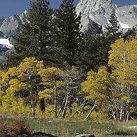 SIERRA NEVADA, CA. Fall aspens below Mount Emerson, above Owens Valley