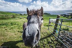 Horses in an Irish field near Cornamona, County Galway, Ireland