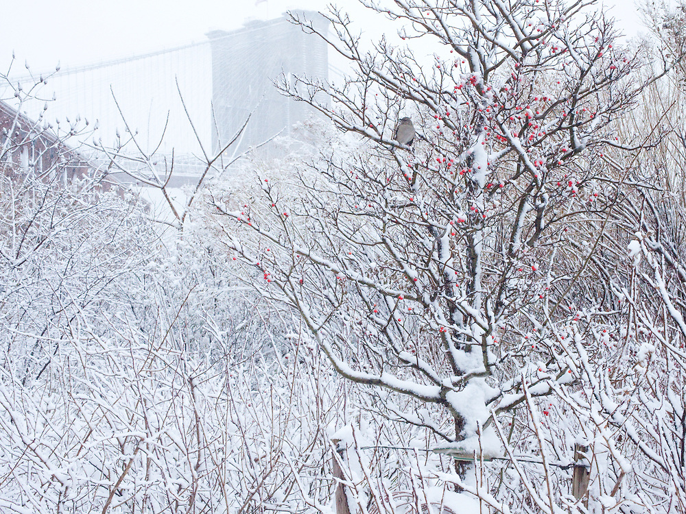 Bird in snow covered tree and Brooklyn Bridge after snow storm.