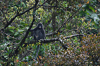 Phayre's leaf monkey or Phayres langur, Trachypithecus phayrei, sitting in a tree at He Xin Chang Forest reserve, Dehong Prefecture, Yunnan Province, China