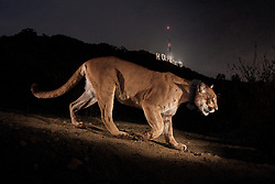 This image was taken for the first ever @natgeo wild cougar story. I was looking for an image that spoke to the fact that as our cities expand we move into the forests and grasslands - the homes of animals. The photo sparked a movement to protect southern California's last cougars and other wildlife in two large protected areas bisected by the 101 Freeway north of L.A. It will be the World's Largest Wildlife Overpass—and will be completed by 2022.<br /> <br /> BIO: Steve Winter has been a photographer for National Geographic for over two decades, He specializes in wildlife, and particularly, big cats. He is a Nat Geo Explorer and he's been named BBC Wildlife Photographer of the Year and BBC Wildlife Photojournalist of the Year. He was a two-time winner of Picture of the Year International's Global Vision Award and won 1st prize in the nature story category from World Press Photo in 2008 and 2014. And won 2nd prize in World Press Photo 2020 in the Contemporary Issues category. He has appeared on 60 Minutes, CBS Nightly News, NPR, BBC, CNN, NG WILD and other media outlets. He speaks globally on big cats and conservation for Nat Geo LIVE.<br /> <br /> In November 2013, National Geographic published Steve's photography book Tigers Forever: Saving the World's Most Endangered Cat, with text written by NG Explorer and environmental journalist Sharon Guynup, who is also a Woodrow Wilson Global Fellow.<br /> <br /> WEBSITE: stevewinterphoto.com<br /> INSTAGRAM: @stevewinterphoto