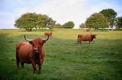 UK ENGLAND WILTSHIRE 26JUN08 - Longhorn cattle graze near the river Kennet in rural Wiltshire, western England...jre/Photo by Jiri Rezac / WWF UK..© Jiri Rezac 2008..Contact: +44 (0) 7050 110 417.Mobile:  +44 (0) 7801 337 683.Office:  +44 (0) 20 8968 9635..Email:   jiri@jirirezac.com.Web:     www.jirirezac.com..© All images Jiri Rezac 2008 - All rights reserved.