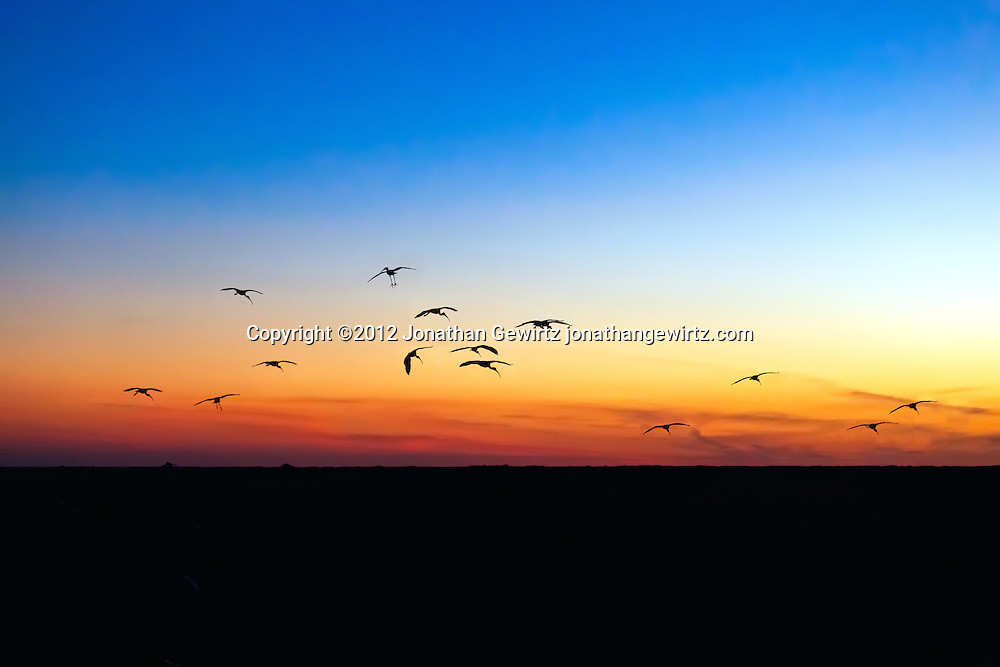 Silhouettes of a flock of American White Ibis (Eudocimus albus) as they arrive at their evening roosts in the Shark Valley section of Everglades National Park, Florida. WATERMARKS WILL NOT APPEAR ON PRINTS OR LICENSED IMAGES.<br /> Licensing: https://tandemstock.com/assets/27226319