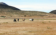 Horses grazing on dried up grassland. Torres del Paine National Park, Republic of Chile 19Feb13