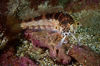 U-mark sandperch, Parapercis snyderi, or Snyder's grubfish. Night dive outside Hong Kong University of Science and Technology, Tai Po Tsai, Sai kung, Hong Kong, China.<br /> This Image is a part of the mission Wild Sea Hong Kong (Wild Wonders of China).