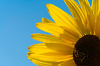 Sun illuminates a brightly blooming yellow sunflower on a warm Summer day.