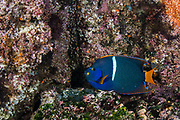 King angelfish (Holacanthus passer)<br /> Tagus Cove, Isabela Island<br /> Galapagos<br /> Pacific Ocean<br /> Ecuador, South America