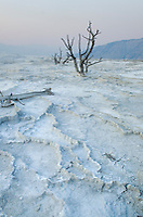 Dead trees encased in travertine despoits of upper terraces of Mammoth Hot Springs,Yellowstone National Park