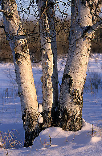 Minnesota, Winter Scenics,Birch trees in winter.