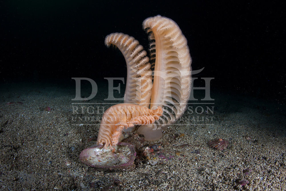 Pteroeides bollonsi (Large sea pen). Monday 07 April 2014<br /> Photograph Richard Robinson © 2014<br /> Dive Number: 520<br /> Site: The Gut, Te Awaatu Channel, Doubtful Sound, Fiordland.<br /> Boat: Tutoko<br /> Dive Ian Skipworth<br /> Time: 16:07<br /> Temperature:  14.8<br /> Rebreather: Inspiration Vision. Total Time On Unit: 327:00 hh:mm<br /> Maximum Depth: 35.2 meters<br /> Bottom Time: 67 minutes<br /> Mix: 21<br /> CNS: 35%<br /> OTU: 31%<br /> Bottom Time to Date: 35,291 minutes<br /> Cumulative Time: 35,420 minutes