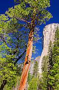 Morning light on El Capitan, Yosemite National Park, California USA