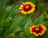 Blanket Flower. Image taken with a Leica CL camera and 90-280 mm lens.