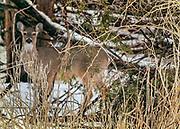 Deer at Edith Reid Nature Conservancy, Rye, New York