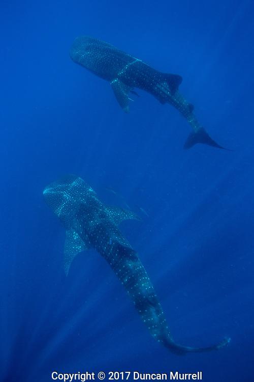 Two whale sharks (Rhincodon typus), Honda Bay, Palawan, the Philippines.