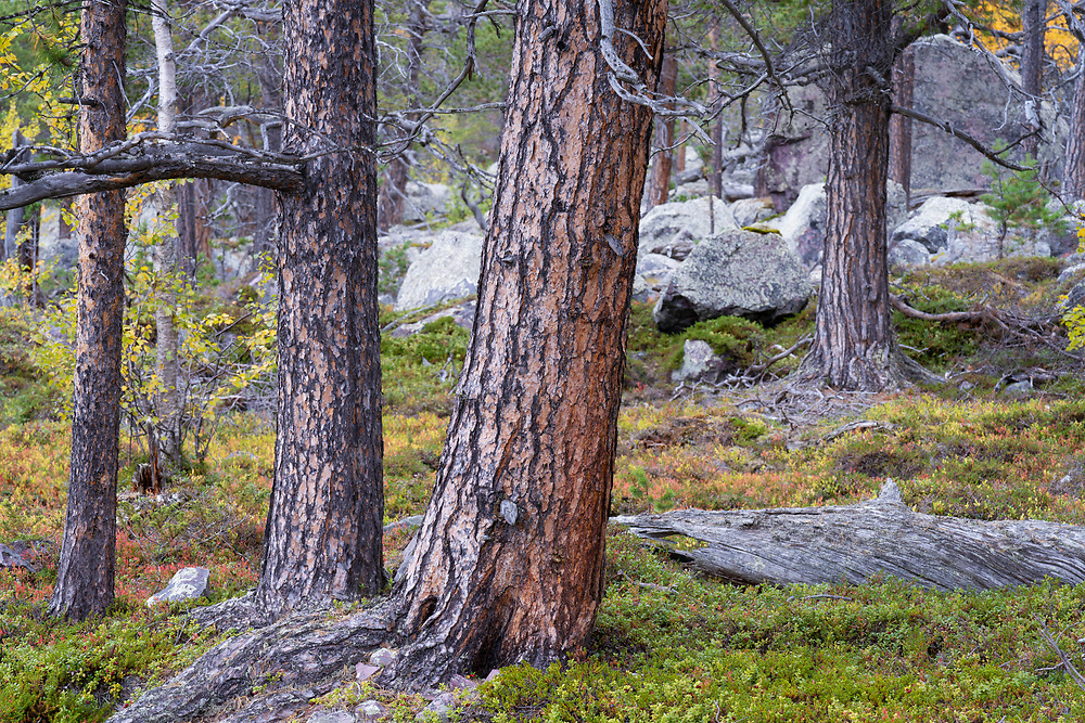 Aged Scots pines and yellow Mountain birch, in red Blueberry leaves, Old-growth pine forest in the Stora Sjoefallet National Park, Laponia Unesco World Heritage Site, Norrbotten, Lapland, Sweden