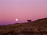 Full moon rising beyond Navajo horse, dusk near Bidahochi, Navajo Reservation, Arizona.
