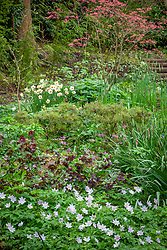The woodland garden with Acer palmatum 'Corallinum' AGM - Maple, Anemone nemorosa 'Robinsoniana' AGM - Wood anemone, Narcissus 'Mary Copeland' and hellebores