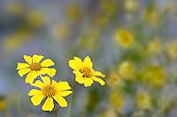 Brittlebush (Encilia farinosa) in the Anza-Borrego Desert, California, USA