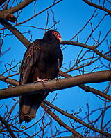 Turkey Vulture in a Neighbors Tree. Image taken with a Fuji X-T1 camera and 100-400 mm OIS telephoto zoom lens (ISO 200, 400 mm, f/5.6, 1/80 sec).