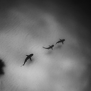 Caribbean reef sharks in the Bahamas in black and white.