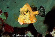 smooth trunkfish, Lactophrys triqueter, golden phase, Stetson Bank, Flower Garden Banks National Marine Sanctuary, Gulf of Mexico