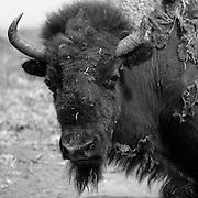 Black and White Bison Portrait, Wind Cave National Park, South Dakota (2009)