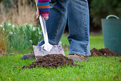 Removing mole hills from a lawn with a spade.