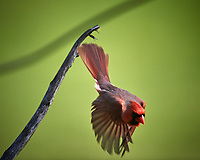 Male Northern Cardinal. Image taken with a Nikon D5 camera and 600 mm f/4 VR lens (ISO 200, 600 mm, f/4, 1/1250 sec).