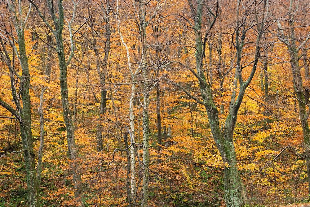 Fall foliage on Mount Mansfield Green Mountains Vermont USA