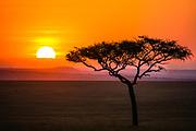 Sunset on the Maasai Mara with an acacia tree, Maasai Mara, Kenya