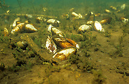 Freshwater Mussel-Giant Floater<br /> <br /> ENGBRETSON UNDERWATER PHOTO