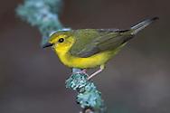Hooded Warbler - Wilsonia citrina - female