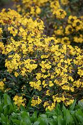 Erysimum 'Bowles's Yellow' - Perennial wallflower