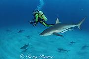 diver and Caribbean reef sharks, Carcharhinus perezi, Walker's Cay, Abaco Islands, Bahamas ( Western Atlantic Ocean )