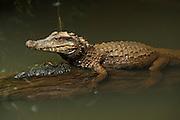 Schneider's Dwarf Caiman (Paleosuchus trigonatus)<br /> Amazon Rainforest, Napo Province<br /> ECUADOR. South America<br /> CAPTIVE