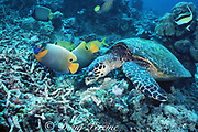 hawksbill sea turtle, Eretmochelys imbricata, digs through coral rubble, looking for invertebrates on which to feed; blueface angel and other reef fish wait for scraps, Sipidan Island, Borneo, Malaysia