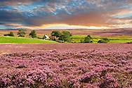 View of Danby Dale and and moors farm with heather flowering.  North Yorks National Park, North Yorkshire, England .<br /> <br /> Visit our ENGLAND PHOTO COLLECTIONS for more photos to download or buy as wall art prints https://funkystock.photoshelter.com/gallery-collection/Pictures-Images-of-England-Photos-of-English-Historic-Landmark-Sites/C0000SnAAiGINuEQ