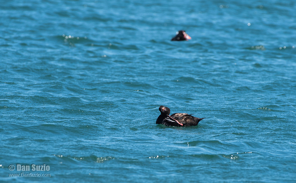 Surf Scoter, Melanitta perspicillata, scratches its face as it swims in Bodega Bay, California