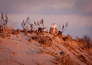 An immature swowy owl watches from the top of a dune at Crowe's Pasture in Dennis.