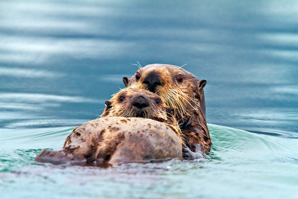 USA, Alaska, Prince William Sound, A mother & baby sea otter (Enhydra lutris) swimming between icebergs from the Columbia Glacier