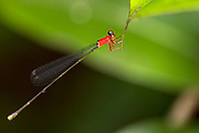 Female of the damselfly Amphicnemis remiger from Tanjung Puting National Park, Kalimantan, Borneo, indonesia