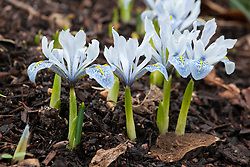 Iris 'Sheila Ann Germaney' (Reticulata) with Galanthus 'Trumps' (snowdrop) in the background