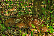 Whitetail deer fawn lying on forest floor<br />Winnipeg<br />Manitoba<br />Canada
