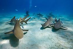 lemon sharks, Negaprion brevirostris, and scuba diver, West End, Little Bahama Bank, off Grand Bahama, Bahamas, Caribbean Sea, Atlantic Ocean, Model Released MR-000054