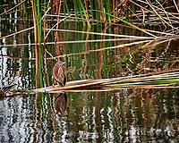 Green Heron. John Chesnut Senior Park, Pinellas County. Image taken with a Nikon Df camera and 300 mm f/4 lens (ISO 500, 300 mm, f/4, 1/1250 sec).