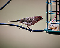 House Finch Image taken with a Nikon D5 camera and 600 mm f/4 VRII lens