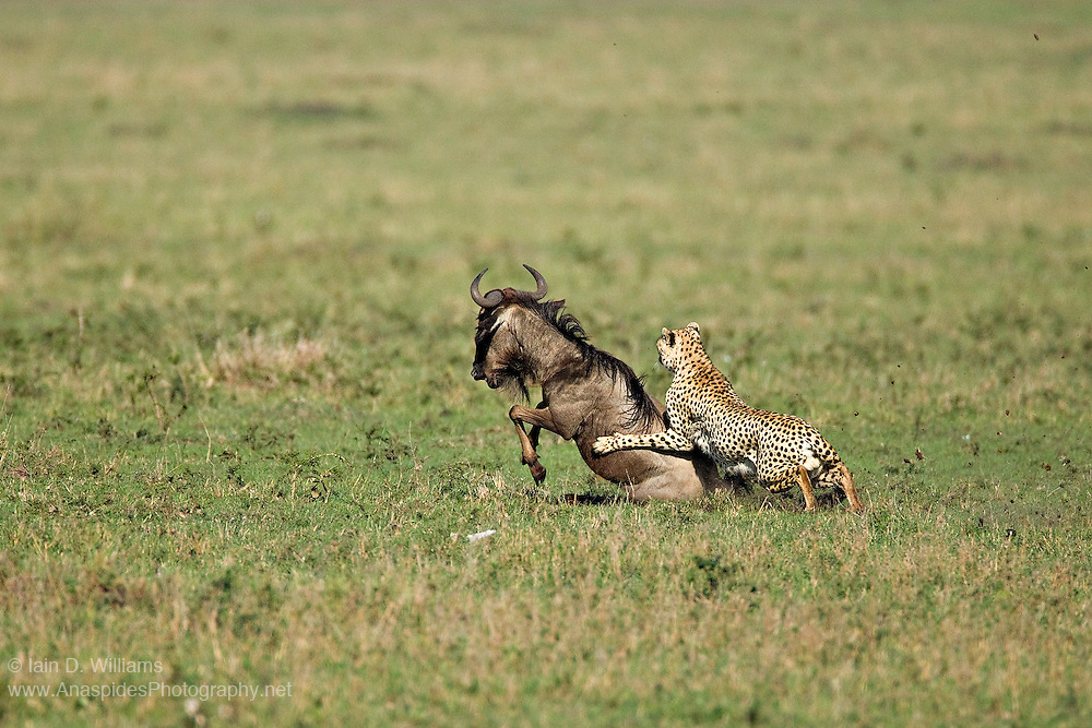 A cheetah (Acinonyx jubatus), after hunting the wildebeest for an hour and giving chase, finally brings the prey to the ground.