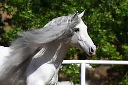 Andalucian - Templado 1V<br /> Owned by Barbara Currie, CA<br /> © Hippo Foto - Bob Langrish