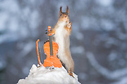 "EXCLUSIVE<br /> Photographer Pictures Squirrels With Tiny Musical Instruments Through Kitchen Window<br /> <br /> Some years ago, squirrels started to come to photographer Geert Weggen's  garden, He decided to build an outside studio from a balcony and started to shoot photos his kitchen window, Some days upto 6 squirrels visit Geert daily.<br /> <br /> This year Geert worked on an idea for a children's book, ""Squirrel Teaching You The Alphabet"", and was confronted with some letters like an object starting with an ""X"". That became a squirrel photo with a xylophone. From there Geert started doing a series of squirrel photos with music instruments. ""It took months to get some music instruments with the right size. I try to bring some magic, wonder and happiness with my work"", these are real photos. Sometimes I take away a wire or some food.<br /> <br /> Photo Shows: QUITE PLEASE....red squirrel with violin and snow <br /> ©Geert Weggen/Exclusivepix Media"